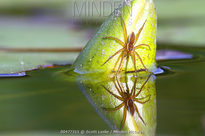 Six-spotted Fishing Spider (Dolomedes triton) on closed pond lily with reflection, Nova Scotia, Canada  -  Scott Leslie