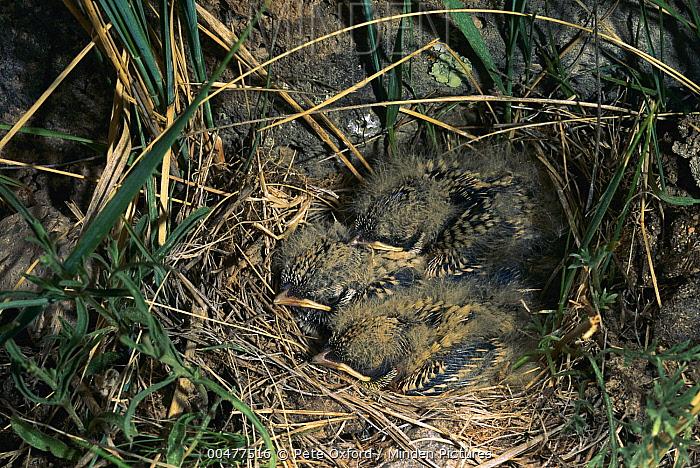 Horned Lark (Eremophila alpestris) chicks in nest, Mongolia  -  Pete Oxford