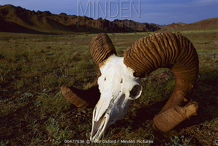 Argali (Ovis ammon) skull and horns, Gobi Desert, Mongolia  -  Pete Oxford