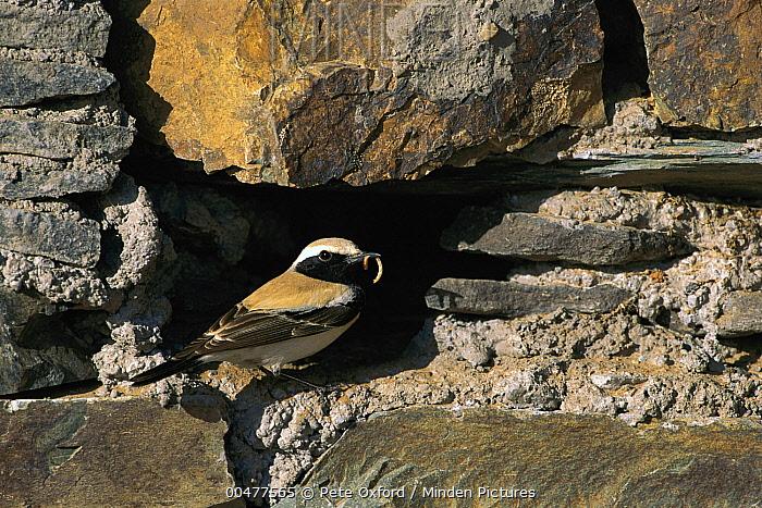 Desert Wheatear (Oenanthe deserti) at nest with prey, Gobi Desert, Mongolia  -  Pete Oxford