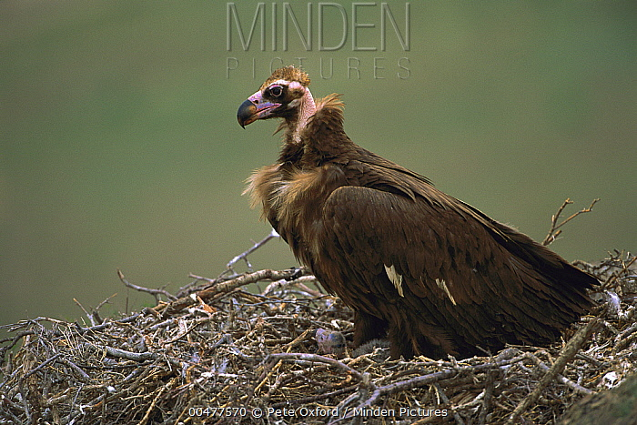 Eurasian Black Vulture (Aegypius monachus) in nest with chick, Gobi Desert, Mongolia  -  Pete Oxford