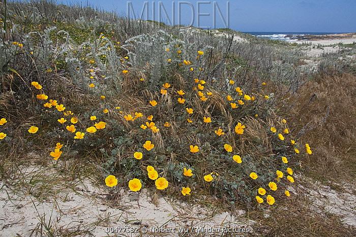 California Poppy (Eschscholzia californica) flowers in coastal dunes, Asilomar State Beach, Pacific Grove, California  -  Norbert Wu