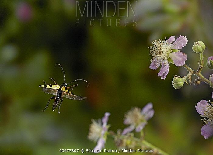 Spotted Longhorn Beetle (Strangalia maculata) flying, England  -  Stephen Dalton