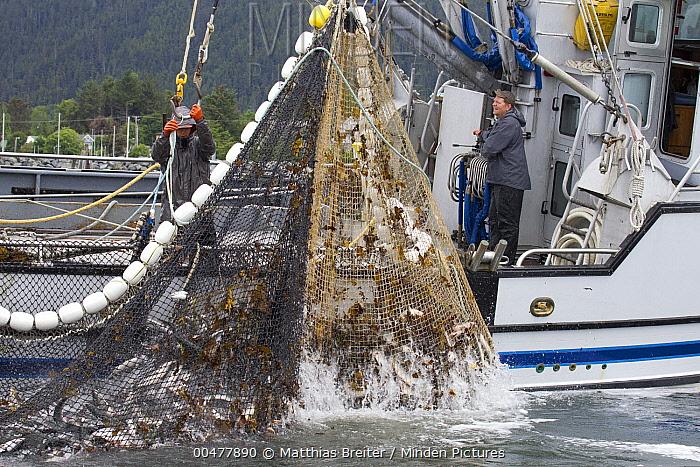 Coho Salmon (Oncorhynchus kisutch) catch hauled in by fishermen, Sitka Sound, Alaska  -  Matthias Breiter