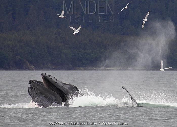 Humpback Whale (Megaptera novaeangliae) bubble net feeding near Juneau, Alaska  -  Matthias Breiter
