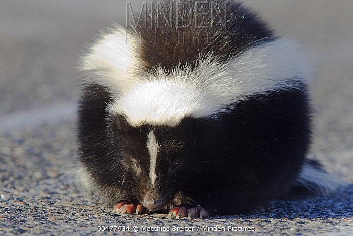 Striped Skunk (Mephitis mephitis) juvenile on road, Kenora, Ontario, Canada  -  Matthias Breiter