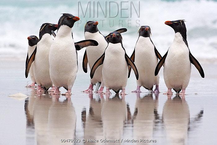 Southern Rockhopper Penguin (Eudyptes chrysocome) group coming ashore, Falkland Islands  -  Heike Odermatt