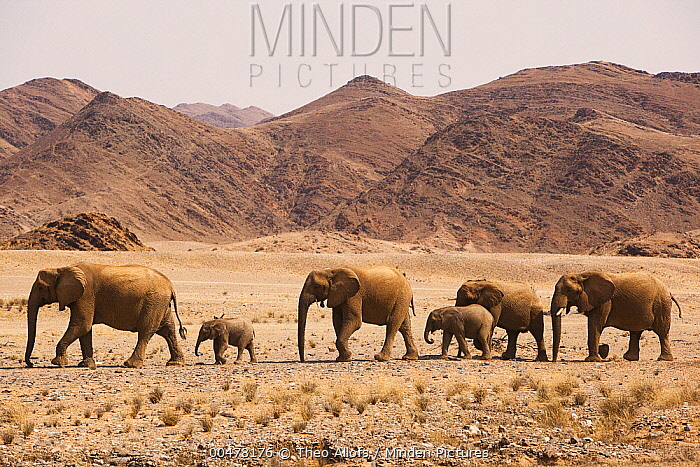 African Elephant (Loxodonta africana) herd crossing desert, Skeleton Coast, Namib Desert, Namibia  -  Theo Allofs