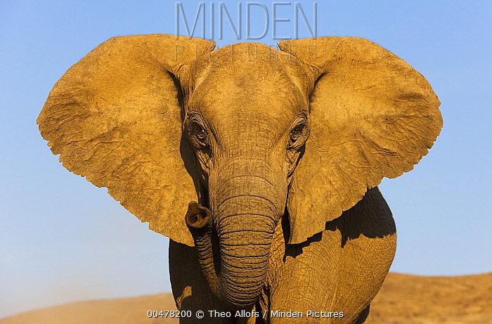 African Elephant (Loxodonta africana), Skeleton Coast, Namib Desert, Namibia  -  Theo Allofs