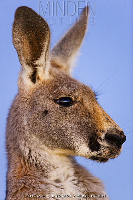 Red Kangaroo (Macropus rufus) female, Sturt National Park, New South Wales, Australia  -  Theo Allofs
