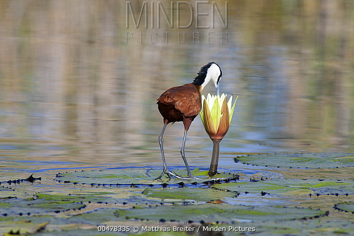 African Jacana (Actophilornis africanus) foraging for insects in water lily flower, Okavango Delta, Botswana  -  Matthias Breiter