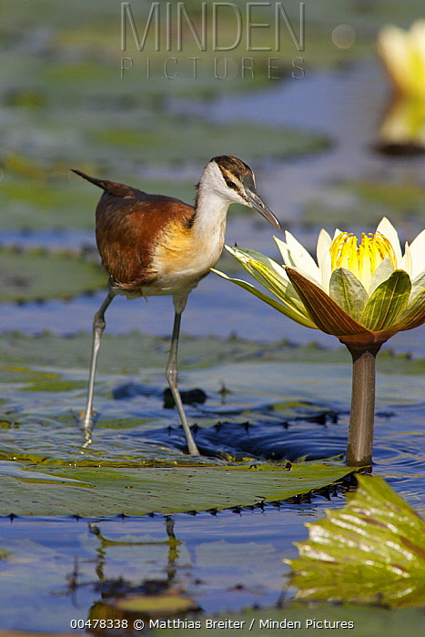 African Jacana (Actophilornis africanus) juvenile foraging for insects in water lily flower, Okavango Delta, Botswana  -  Matthias Breiter