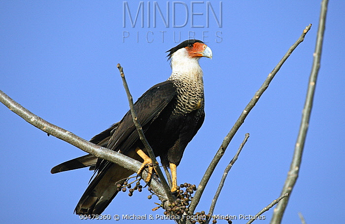 Crested Caracara (Caracara cheriway) in dry forest, Guanacaste, Costa Rica  -  Michael & Patricia Fogden