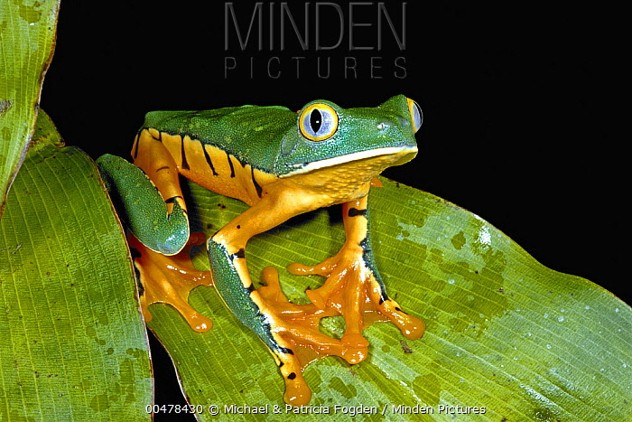 Splendid Leaf Frog (Agalychnis calcarifer), La Selva Biological Research Station, Costa Rica  -  Michael & Patricia Fogden