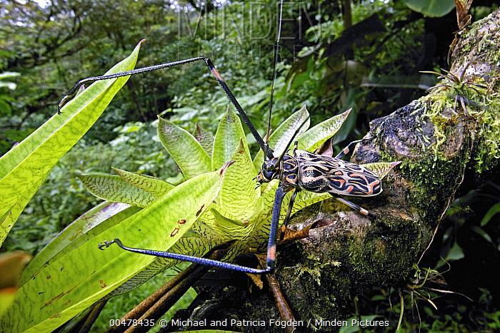 Harlequin Beetle (Acrocinus longimanus) male in rainforest, Costa Rica  -  Michael & Patricia Fogden