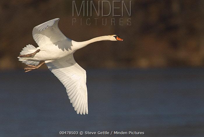 Mute Swan (Cygnus olor) flying, Kensington Metropark, Milford, Michigan  -  Steve Gettle