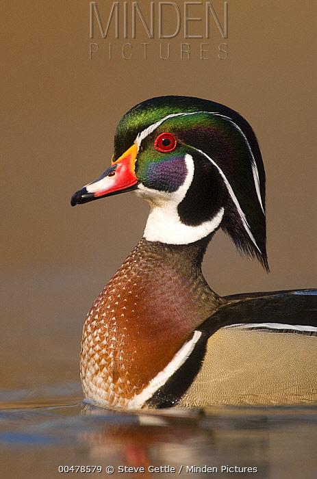 Wood Duck (Aix sponsa) male in breeding plumage, Lapeer State Game Area, Michigan  -  Steve Gettle