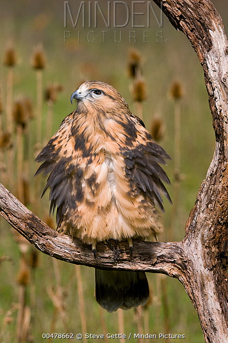 Rough-legged Hawk (Buteo lagopus) puffing up feathers to keep warm, Howell Nature Center, Michigan  -  Steve Gettle