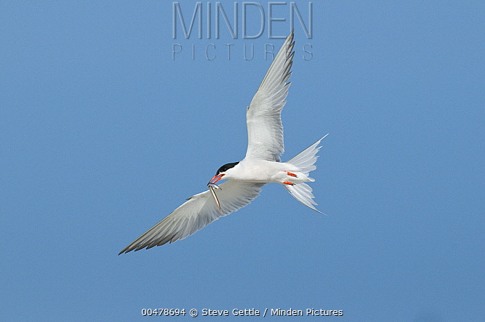 Common Tern (Sterna hirundo) carrying fish prey, Nickerson County Beach Park, New York  -  Steve Gettle