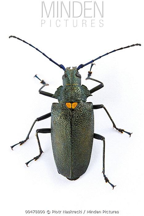 Longhorn Beetle (Cerambycidae), Barbilla National Park, Costa Rica  -  Piotr Naskrecki