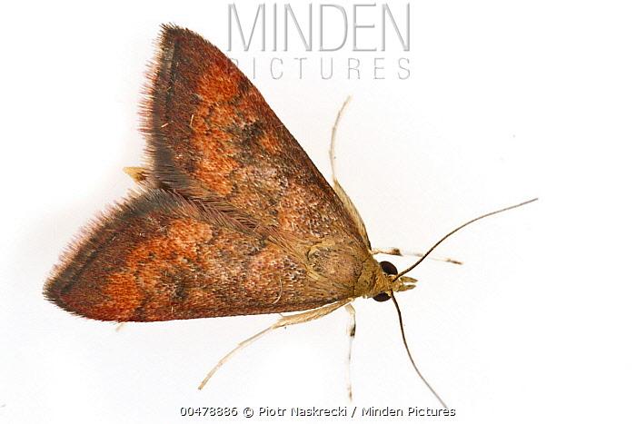 Crambid Snout Moth (Pyrausta californicalis), Woburn, Massachusetts  -  Piotr Naskrecki
