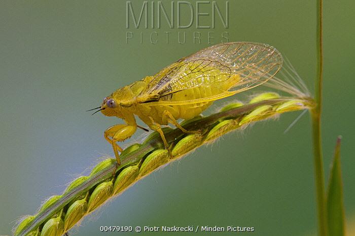 Cicada (Stagira sp), Fort Fordyce Nature Reserve, Eastern Cape, South Africa  -  Piotr Naskrecki