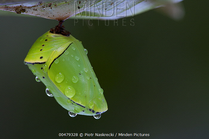 Butterfly chrysalis covered with water drops, Surinam  -  Piotr Naskrecki