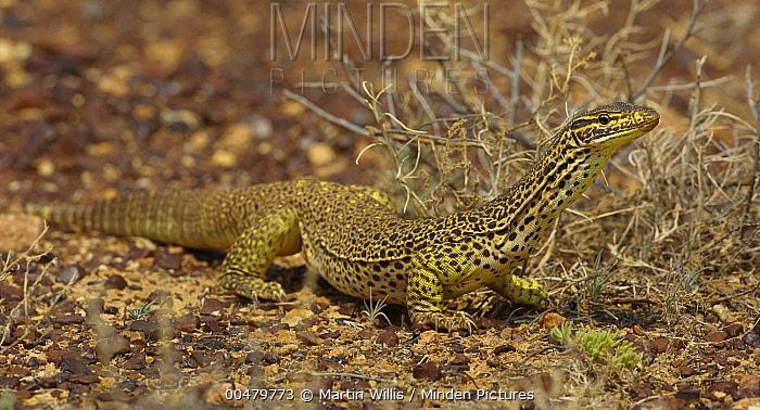 Yellow-spotted Monitor (Varanus panoptes), Gibber Desert, Bedourie, Queensland, Australia  -  Martin Willis