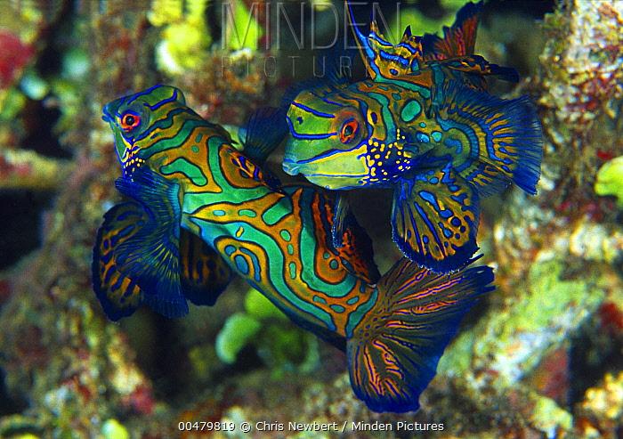 Mandarinfish (Synchiropus splendidus) pair, Indonesia  -  Chris Newbert