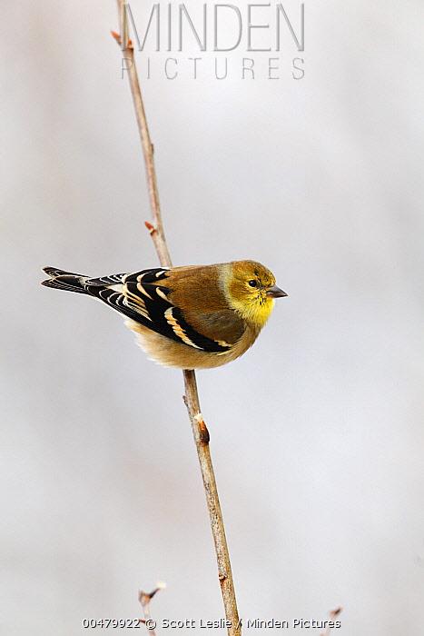 American Goldfinch (Carduelis tristis), Canada  -  Scott Leslie