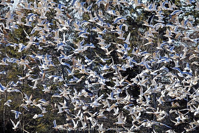Great Black-backed Gull (Larus marinus) and Herring Gull (Larus argentatus) flock flying, Nova Scotia, Canada  -  Scott Leslie