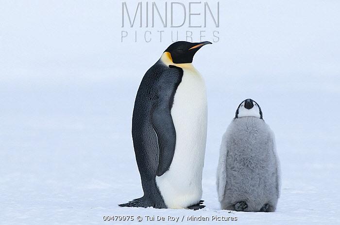 Emperor Penguin (Aptenodytes forsteri) with chick begging for food, Prydz Bay, eastern Antarctica  -  Tui De Roy