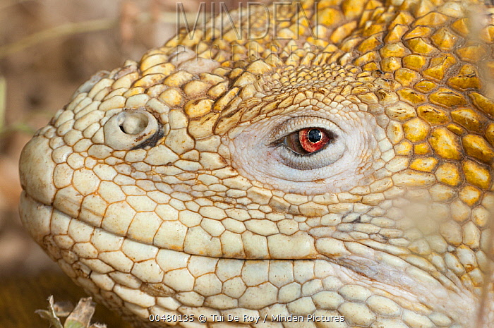 Galapagos Land Iguana (Conolophus subcristatus), Galapagos Islands, Ecuador  -  Tui De Roy