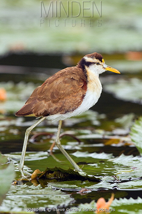 Northern Jacana (Jacana spinosa) juvenile walking on lily pads, Costa Rica  -  Steve Gettle