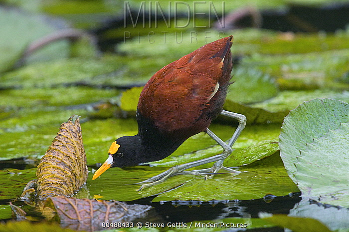 Northern Jacana (Jacana spinosa) foraging on lily pads, Costa Rica  -  Steve Gettle