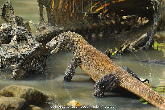 Komodo Dragon (Varanus komodoensis) juvenile scavenging dead buffalo, Nusa Tenggara, Indonesia  -  Ch'ien Lee