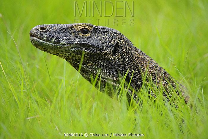 Komodo Dragon (Varanus komodoensis) in grass, Nusa Tenggara, Indonesia  -  Ch'ien Lee