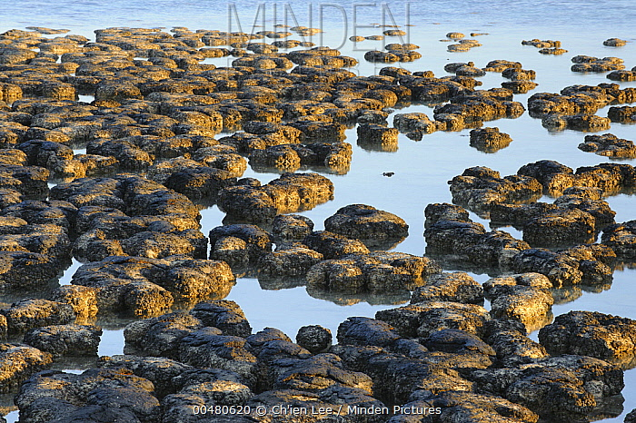 Stromatolites, colonies of blue-green algae, the oldest life form that still exists today, over three billion years old, Hamelin Pool, Shark Bay, Western Australia  -  Ch'ien Lee