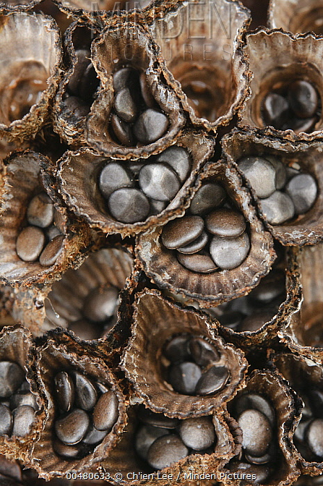 Bird's Nest Fungus (Cyathus sp) showing spores that are dispersed by rain drops, Sarawak, Borneo, Malaysia  -  Ch'ien Lee
