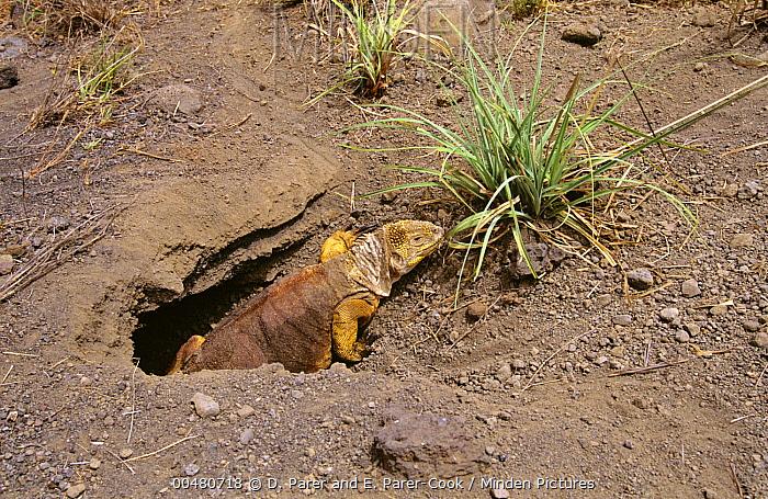 Galapagos Land Iguana (Conolophus subcristatus) female digging nest, Fernandina Island, Galapagos Islands, Ecuador  -  D. Parer & E. Parer-Cook