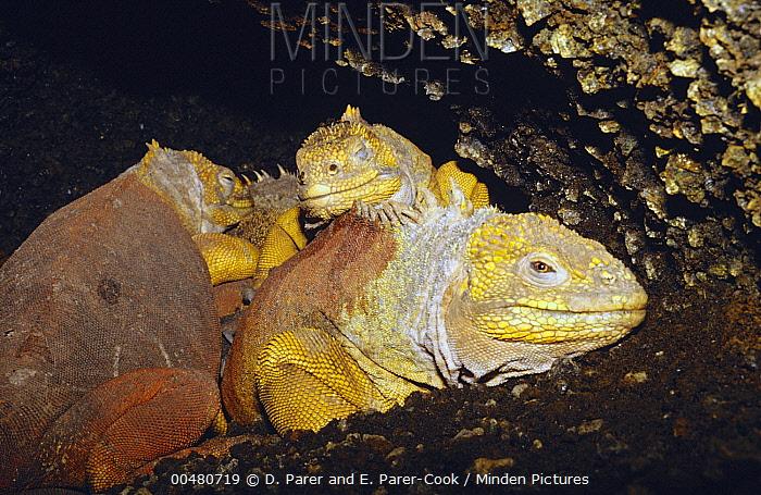 Galapagos Land Iguana (Conolophus subcristatus) trio keeping warm in hot caves, Fernandina Island, Galapagos Islands, Ecuador  -  D. Parer & E. Parer-Cook