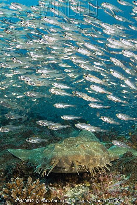 Spotted Wobbegong (Orectolobus maculatus) under Slender Cardinalfish (Rhabdamia gracilis) school, North Solitary Islands, New South Wales, Australia  -  Mark Spencer/ Auscape