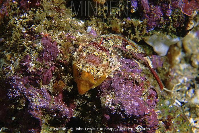 Painted Stinkfish (Eocallionymus papilio) female camouflaged, Binalong Bay, Tasmania, Australia  -  John Lewis/ Auscape