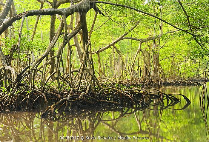 Red Mangrove (Rhizophora mangle) stilt roots, Los Haitises National Park, Dominican Republic  -  Kevin Schafer