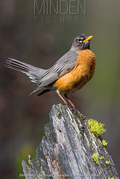 American Robin (Turdus migratorius), Troy, Montana  -  Donald M. Jones