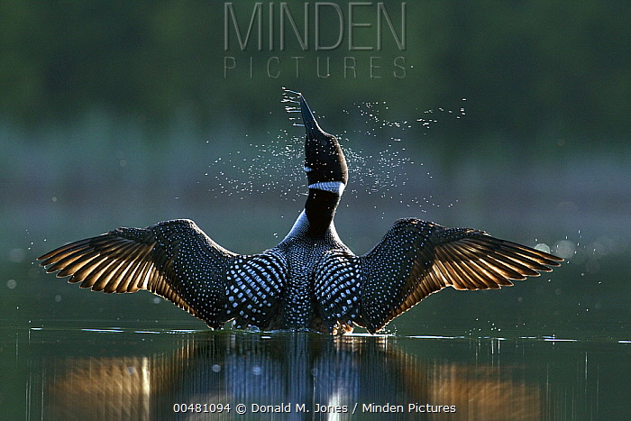 Common Loon (Gavia immer) stretching wings, Troy, Montana  -  Donald M. Jones