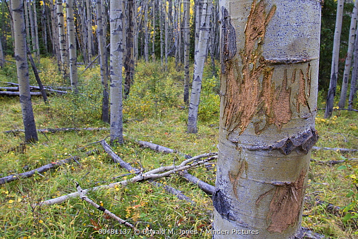 Elk (Cervus elaphus) antler scrape on Cottonwood (Populus sp) trunk, Jasper National Park, Alberta, Canada  -  Donald M. Jones