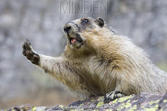Yellow-bellied Marmot (Marmota flaviventris) stretching, Glacier National Park, Montana  -  Donald M. Jones