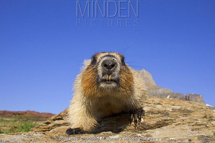 Yellow-bellied Marmot (Marmota flaviventris) approaching camera, Glacier National Park, Montana  -  Donald M. Jones