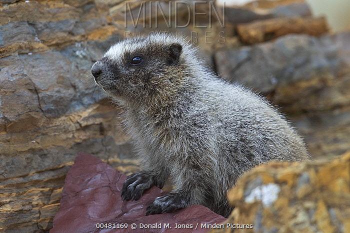 Yellow-bellied Marmot (Marmota flaviventris) pup, Glacier National Park, Montana  -  Donald M. Jones